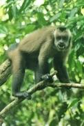 angry capuchin
