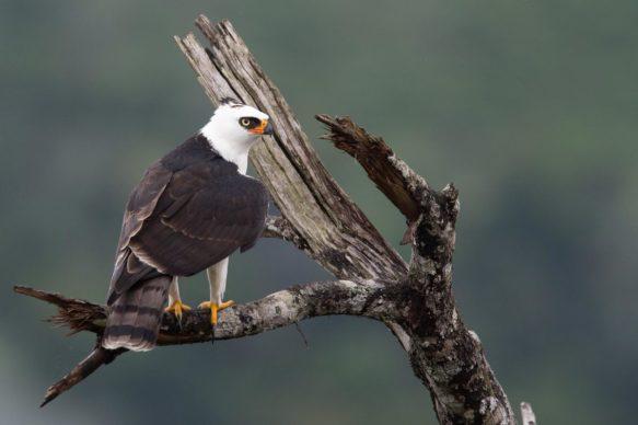 Black-and-white-hawk-eagle-1200x799